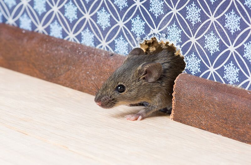 rat in the house, preventing home damage this winter